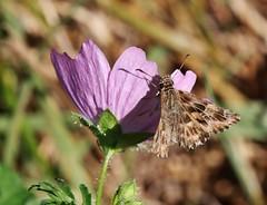 Skipper (Hugo von Schreck) Tags: hugovonschreck schmetterling butterfly macro makro insect insekt canoneos5dsr tamron28300mmf3563divcpzda010
