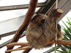 sloth (Pandur55) Tags: animal zoo ixus170