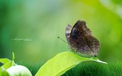 Butterfly (Anup Devaraj Clicks) Tags: greenery nature nikond3200 nikkor nikon butterfly