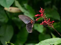 蝶採花05 (enno7898) Tags: panasonic lumix g9 lumixg9 vario 45200mm f4056 butterfly plant flower