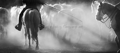 Evening Corral (pixellesley) Tags: equines horses animals working dusty evening corral camargue france riders cowboys guardians ranchers people tradition custom lesleygooding blackandwhite monocrome fineartphoto