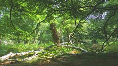 New Forest NP, Hampshire, UK (east med wanderer) Tags: england hampshire uk newforestnationalpark nationalpark oak beech bracken silverbirch