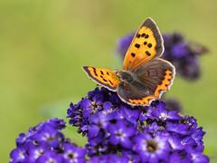 Small Copper (Maria-H) Tags: smallcopper lycaenaphlaeas butterfly quarrybankmill garden styal cheshire uk olympus omdem1markii panasonic 100400