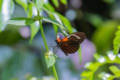 butterfly of the world (alain_did) Tags: mariposas butterfly papillon nature naturallight natural naturelover naturepics naturephoto bokeh canon5dmkiii macro macroshoot macrovision couleurs beautyinnature hellosaintlau amazonie guyane
