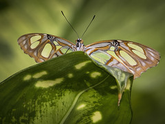 Malachite Butterfly (Mark Chandler Photography) Tags: 7dmarkii ga georgia markchandler nature pinemountain butterflies butterfly callowaygardens canon color colour mariposa outdoor outdoors photo photography plant plants stock flora fauna insect wings green bokeh