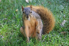 Squirrels in Ann Arbor at the University of Michigan on September 5th, 2018 (cseeman) Tags: gobluesquirrels squirrels annarbor michigan animal campus universityofmichigan umsquirrels09052018 summer eating peanut septemberumsquirrel foxsquirrels easternfoxsquirrels michiganfoxsquirrels universityofmichiganfoxsquirrels