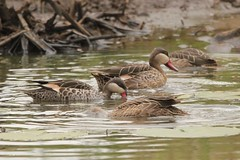 Just like ducks (Nagarjun) Tags: egyptiangoose alopochenaegyptiaca nairobinationalpark kenya eastafrica duck safari savannah gamedrive wildlife lillypond
