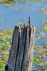 A-LUR_7261 (OrNeSsInA) Tags: trasimeno umbria italia toscana lago nature tuscany rettile