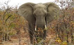 African Elephant / Olifant (Pixi2011) Tags: elephants krugernationalpark big5 africa wildlife ngc npc