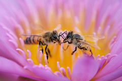Face to Face (billcoo) Tags: water lily bokeh pink