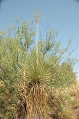 LivingDesertStPk-62 (alicia.garbelman) Tags: livingdesertstatepark newmexicolivingdesertzooandgardensstatepark carlsbad yucca