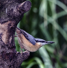 Nuthatch (mapletreejapanese) Tags: nuthatch pose perch seed