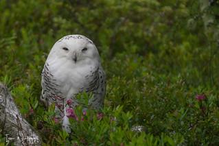 Snowy Owl-SNP-18-5