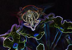 a  slided fly - for SlidersSunday (conall..) Tags: closeup raynox dcr250 macro county down tullynacree nw551041 annacloy garden northernireland buddleja davidii eristalis tenax female eristalistenax flower flowerhead manipulated manipulatedimage photoshop elements 15 messing abstract weird glowing edges sliderssunday