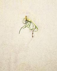 Marram Grass Simplicity º (CactusD) Tags: rosamol seaweed marram machair texture sand detail luskentyre losgaintire traighrosamol beach scotland harris isleofharris outerhebrides hebrides sea greatbritain great britain epson epsonv850 v850 silverfast uk unitedkingdom gb landscape film fuji fujichrome velvia velvia50 5x4 4x5 largeformat large format linhof technikardan tks45 s45 schneideraposymmarmc150mmf56 150mm f56 schneider aposymmar