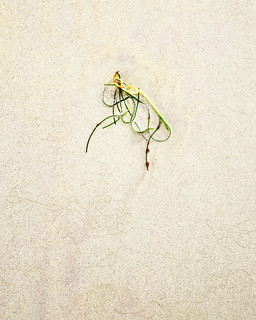 Marram Grass Simplicity º