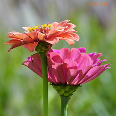 Summerflowers (Cajaflez) Tags: zinnia bloem