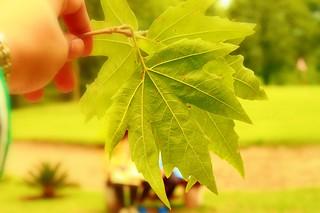 The Chinar Leaf...