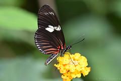 Butterfly (Bri_J) Tags: tropicalbutterflyhouse northanston southyorkshire uk yorkshire nikon d7200 butterflyhouse butterfly