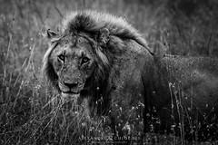 Lion (Waitandshoot - Alexandre & Chloé Bès) Tags: afrique africa safari bird mammifère mammal lion leopard rhino oiseaux canon sigma kenya masai hyene pelouse animal champ macro black white crowned zebra eagle elephant iso noir blanc lionne lioness king queen