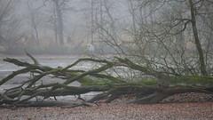 4k-grey-heron-on-fallen-mossy-tree-in-foggy-swamp-nature-at-winter-season_b3xuspdnx_thumbnail-full01 (tanyapavlicapschyrembel) Tags: