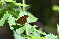 Pararge aegeria (esta_ahi) Tags: castelletilagornal mariposa papallona butterfly nymphalidae lepidoptera insectos fauna pararge aegeria parargeaegeria penedès barcelona spain españa испания