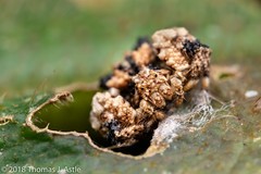Bird Dung Crab Spider (Tom's Macro and Nature Photographs) Tags: macrophotography arachnids spiders madagascar andasibe crabspiders thomisidae mimicry cryptic