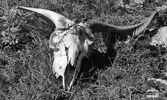 Calavera (J.Gargallo) Tags: calavera cráneo huesos blancoynegro blanconegro byn blackwhite blackandwhite bw canon canon450d canonefs18200 eos eos450d 450d