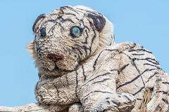 DSC_4651 (Adrian Royle) Tags: lincolnshire coast walk nikon tiger