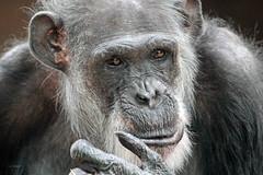 Good Old Mike (K.Verhulst) Tags: mike chimpanseemike chimpansee chimpanzee ape mensaap amersfoort dierenparkamersfoort apen monkeys ngc coth5 npc