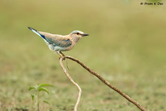 # Indian Roller........... (Prem K Dev) Tags: indian india roller blue jay bird beautiful bg bokeh brilliant pleasing pose perched tree twig wildlife wonderful lake lovely colourful cream composition artistic avian attractive nature siruthavur chennai outskirts catchlight tropical