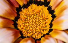 Spring is upon us (AWLancaster) Tags: macroflower stamen upclose spring springtime photowalk beautifulflower flowers gazainia colourful petals canon canonmacro shepparton