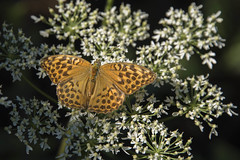Instant fugace -*--- ° (Titole) Tags: tabacdespagne titole nicolefaton papillon orange white wildflower thechallengefactory
