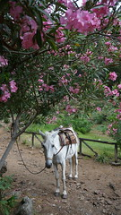 Why did you tie me up? (Goran Joka) Tags: tied mule flowers tree trail path nature animal landscape outdoor rope saddle