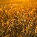 Golden Hour In Corn Field