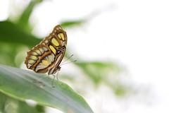 Butterfly Portrait Side (Tekelua) Tags: butterfly schmetterling elbauenpark