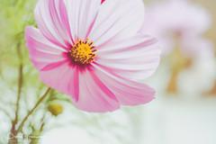 Pink 'Cosmos' ( Creative ) (Peter Greenway) Tags: cosmos villageshow fruit flickr vegetables gardeningclub cumnorvillageshow fete produce pinkflower