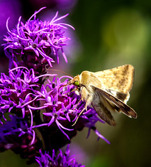 Me Too (Portraying Life, LLC) Tags: dbg6 da3004 hd14tc k1mkii michigan pentax ricoh unitedstates closecrop handheld nativelighting pollinator moth meadow leonardspreserve flower