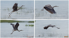 Montage grand héron en vol - 6824 (rivai56) Tags: montage collage oiseau bird grandhéronenvol6824 de 4 photos du grand héron en vol great blue heron flight