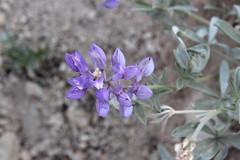 'Tis the lupine season (rozoneill) Tags: lassen volcanic national park peak hiking california volcano