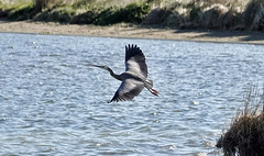 White-Faced Heron (flying-leap) Tags: newzealand nz estuary whitefacedheron southisland birds beach pacificocean seascape nature sea ocean christchurch sony sonydscrx10m4 sonydscrx10iv sonyrx10iv wildlifenz christchurchnz southshore