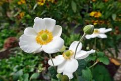 zum Gedenken an eine wunderbare  Mamma in Italien (mama knipst!) Tags: herbstanemone blume flower fleur fiori