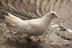 White Dove (OwenSPhotography) Tags: bird birds mud dirt water white dove