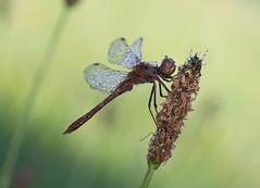 steenrode heidelibel (Sympetrum vulgatum) (peter nijland) Tags: twente dinkelland denekamp dauw dew libel dragonfly nature natuur netherlands tamron 90mm