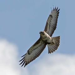 IMG_4960 Common Buzzard (Dennis Swaby) Tags: bird buzzard commonbuzzard raptor