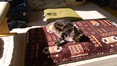 Tigger's Bath in the Sun (sjrankin) Tags: 18september2018 edited animal cat tigger floor livingroom sun sunlight sunbeam mat cushion bench kitahiroshima hokkaido japan video