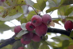 Äpfel (petra.wruck) Tags: apfelbaum appletree apfel äpfel apple apples pflanzen pflanze plants obst fruit lebensmittel foodstuffs food foods groceries provisions viands vitamine vitamins