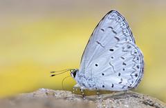 Plain Hedge Blue - Celastrina lavendularis (Ishmaanay) Tags: plain hedge blue celastrina lavendularis
