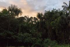 São Gabriel da Cachoeira-AM (Johnny Photofucker) Tags: sãogabrieldacachoeira amazonas amazônia amazon florestaamazônica floresta forest foresta jungle verde green lightroom brasil brasile brazil 24mm entardecer embaúba natureza natura nature am