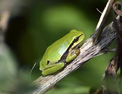 Tree Frog (boomkikker) (moniquedoon) Tags: frog treefrog boomkikker kikker nature natuur green